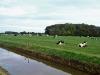 koeien in een wei bij een sloot